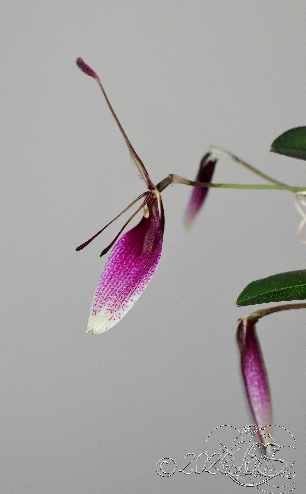 Miniatur-Orchideen Teil 6 - Seite 15 Restrepia-seketii-2
